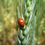 ladybeetle2-225x300