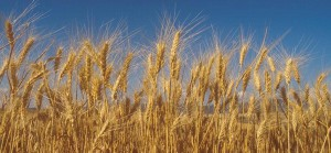 Wheat-sky-cropped