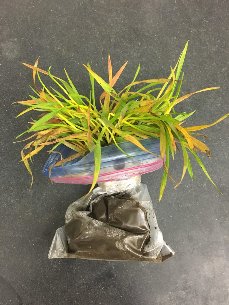 Soilborne wheat mosaic sample in a plastic bag.
