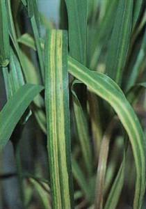cephalosporium-stripe-rust