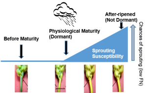 "Fig. 2. The chances that rain will induce sprouting and low FN increase the longer the wheat ""after-ripens"" or sits dry on the mother plant after the wheat turns matures (turns yellow). Thus, dormancy and sprouting tolerance are lost as the wheat stands in the field."