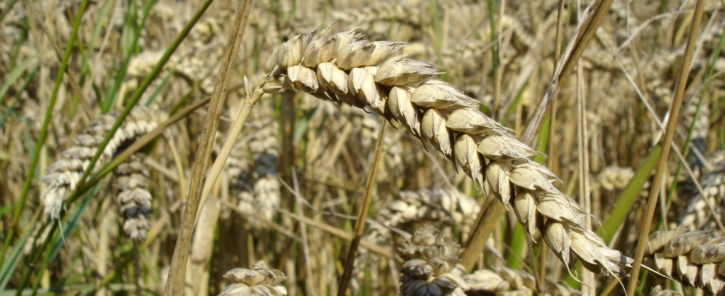 wheat_close-up-cropped