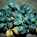 Second example of Nitrogen deficiency in canola