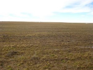 Figure 2. A wheat field in Lincoln County, WA showing severe winter injure (March 8, 2017).