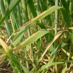 Example of Potassium deficiency in wheat