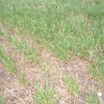 Second example of Phosphorus deficiency in wheat