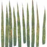 Example of Chloride deficiency in wheat