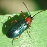 Cereal Leaf Beetle 2