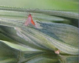 Wheat-Midge-Adult