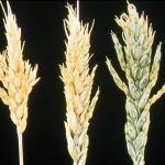 Example of Boron deficiency in wheat