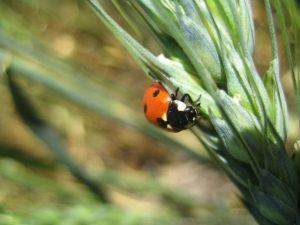 ladybeetle1