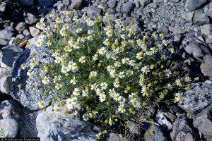Cluster of Mayweed Chamomile in rocks.