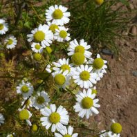 Cluster of Mayweed chamomile in bloom