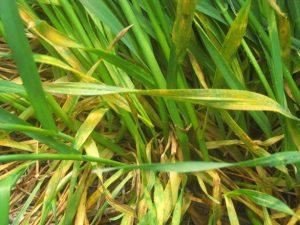 Active stripe rust on multiple leaves.