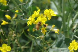 Honey bee and lady beetle on winter canola.