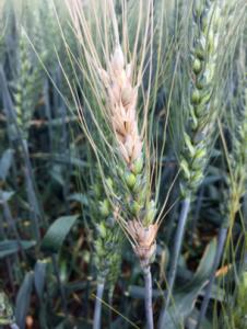 Close-up of Fusarium head blight in a field.