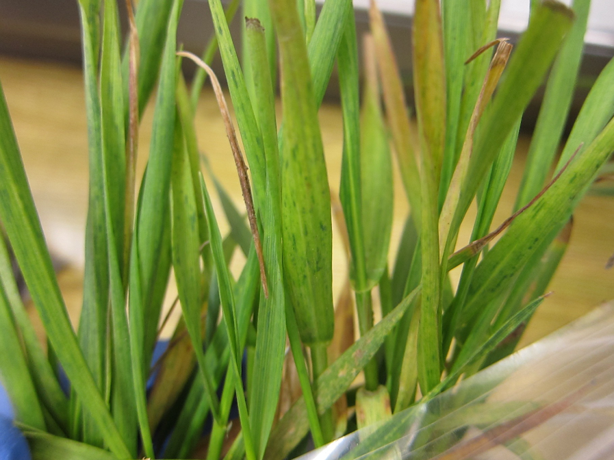 Wheat leaves dashed with Soilborne Wheat Mosaic Virus discoloration.