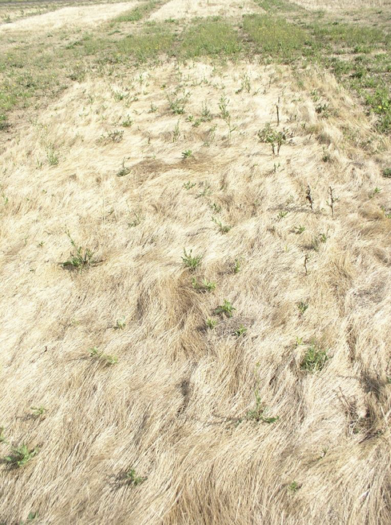A dense mat of dry rattail fescue stems and seeds.