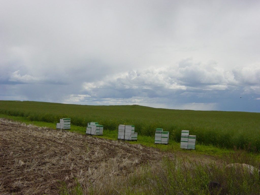 Honeybees near winter canola.