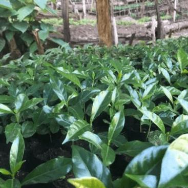 Ethiopia: Guji Kanyon Mountain Organic from Fort Bend Coffee Roasters