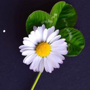 Daisy4leafclover