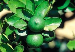 Dica: como cultivar frutas na varanda
