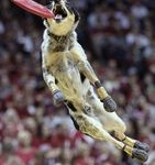 Frisbee Dogs will Perform this Friday at Homecoming