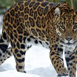 Jaguar Winter Sports Information