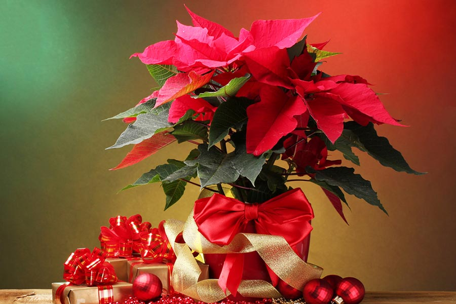 Poinsettias with Christmas decorations and ornaments around it.