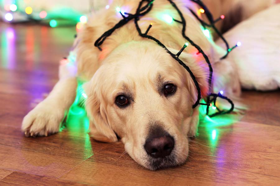 An older golden retriever laying down with Christmas lights around his body, looking cute.