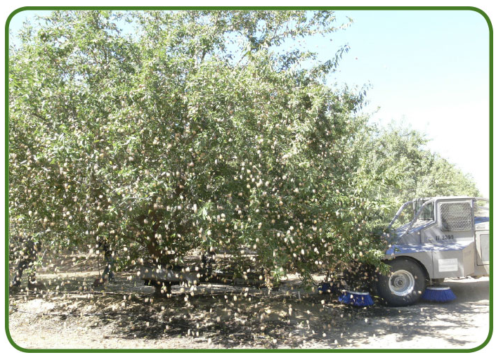 Harvest, almonds are shaken from the trees.