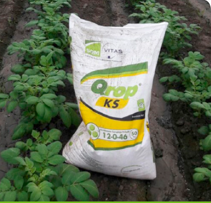 Potato crop at the time of the second fertiliser application.