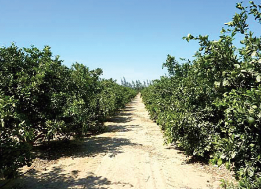Valencia orange trees spaced at 7x5 m² in Wadi Natroon, Egypt. Conversion to more intense planting represents an opportunity. In this orchard, yield is around 16 TM per 4.200 m² (one feddan) but 30TM per feddan are easily achieved by growers who fertilise and irrigate this crop ideally. Canopy light exposure percentage and daily duration, and the proper relationship between canopy to land-surface area, also have a manifest impact on production