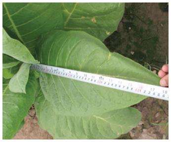 Entre otros beneficios, el tratamiento SQM resultó en hojas de tabaco más largas y de mejor calidad.