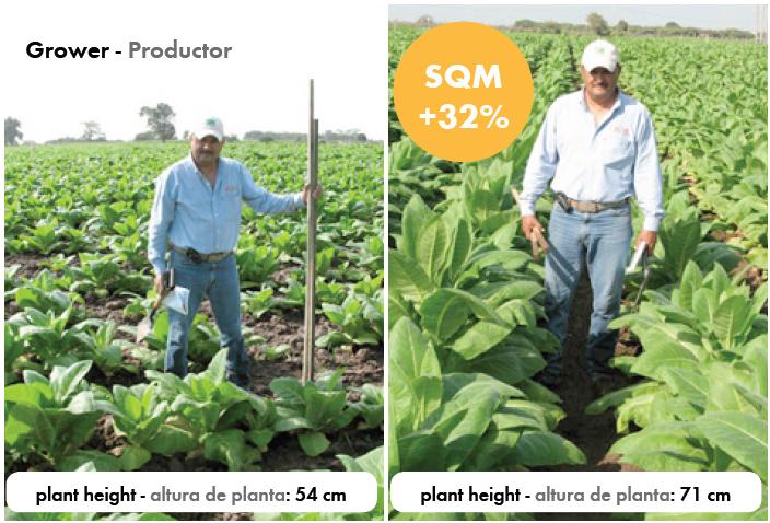 Los resultados claramente muestran un efecto positivo del tratamiento SQM sobre la altura de las plantas. Fotos sacadas el 6 de enero 2011. A la izquierda el testigo (54 cm). A la derecha el campo SQM (71 cm).