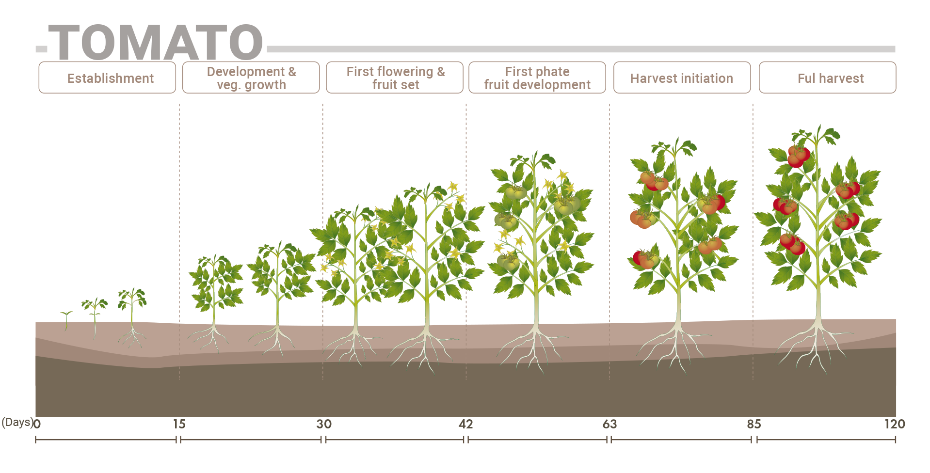 Phenological Stage Tomato