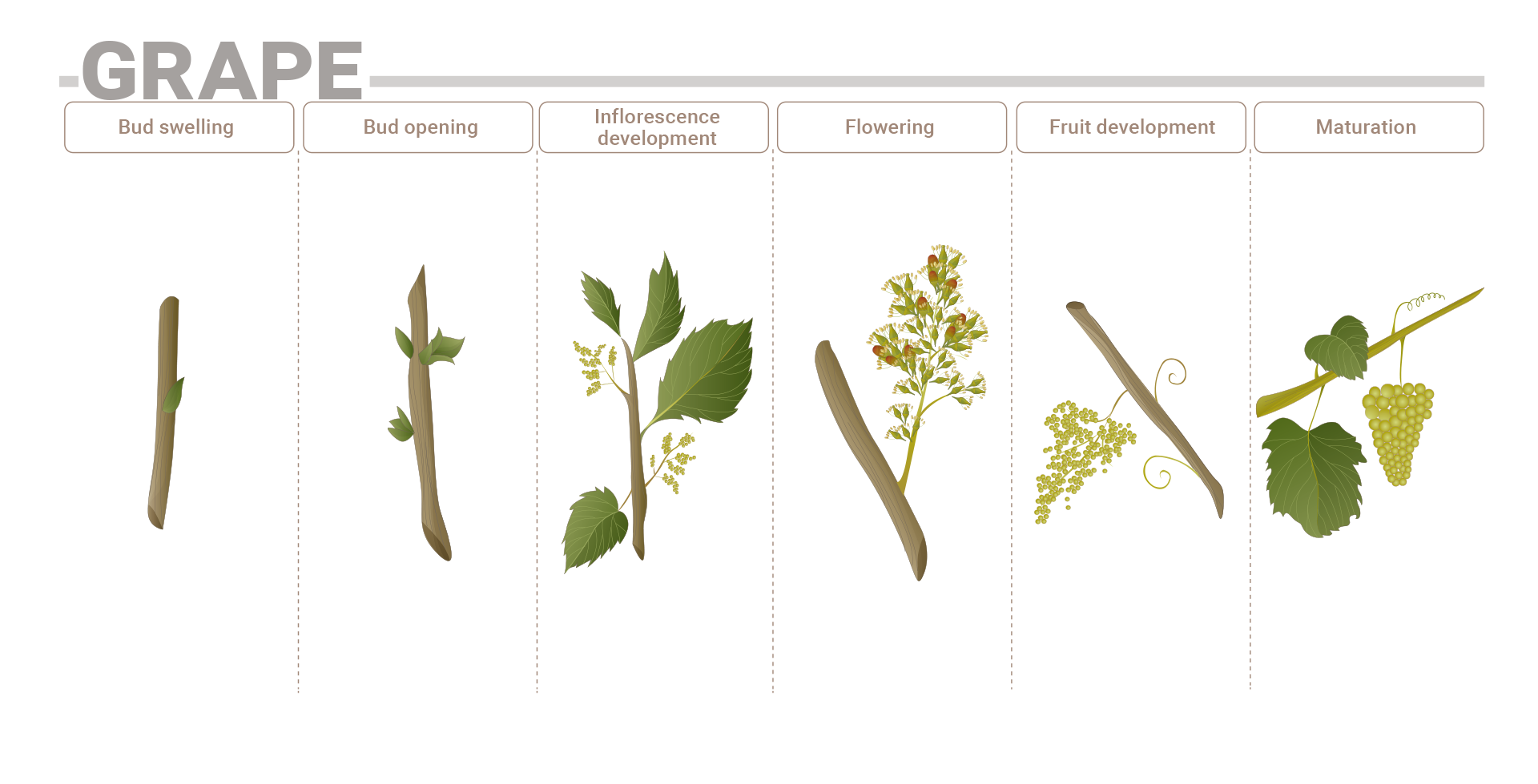 Phenological stage Grape