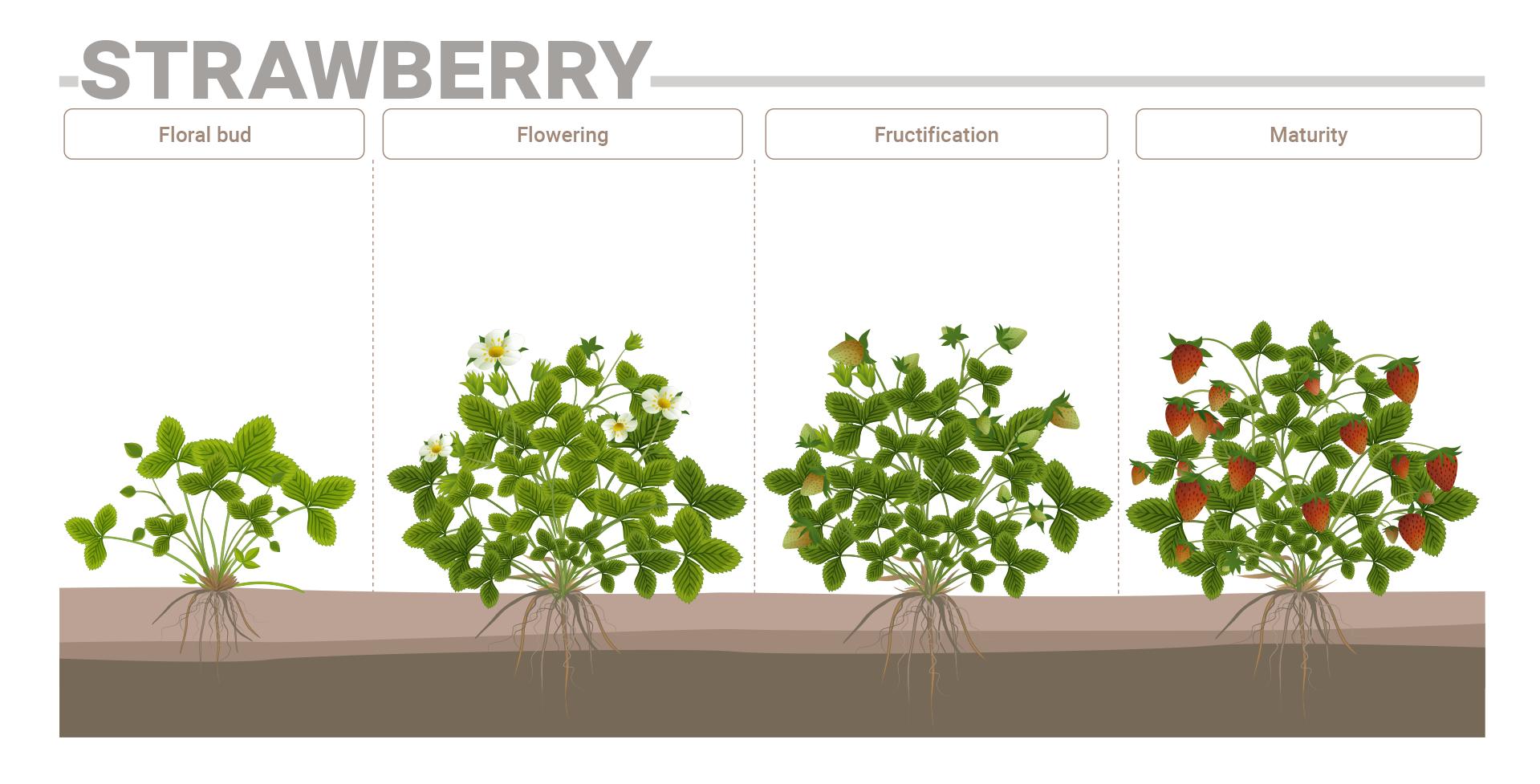 Strawberry phenological