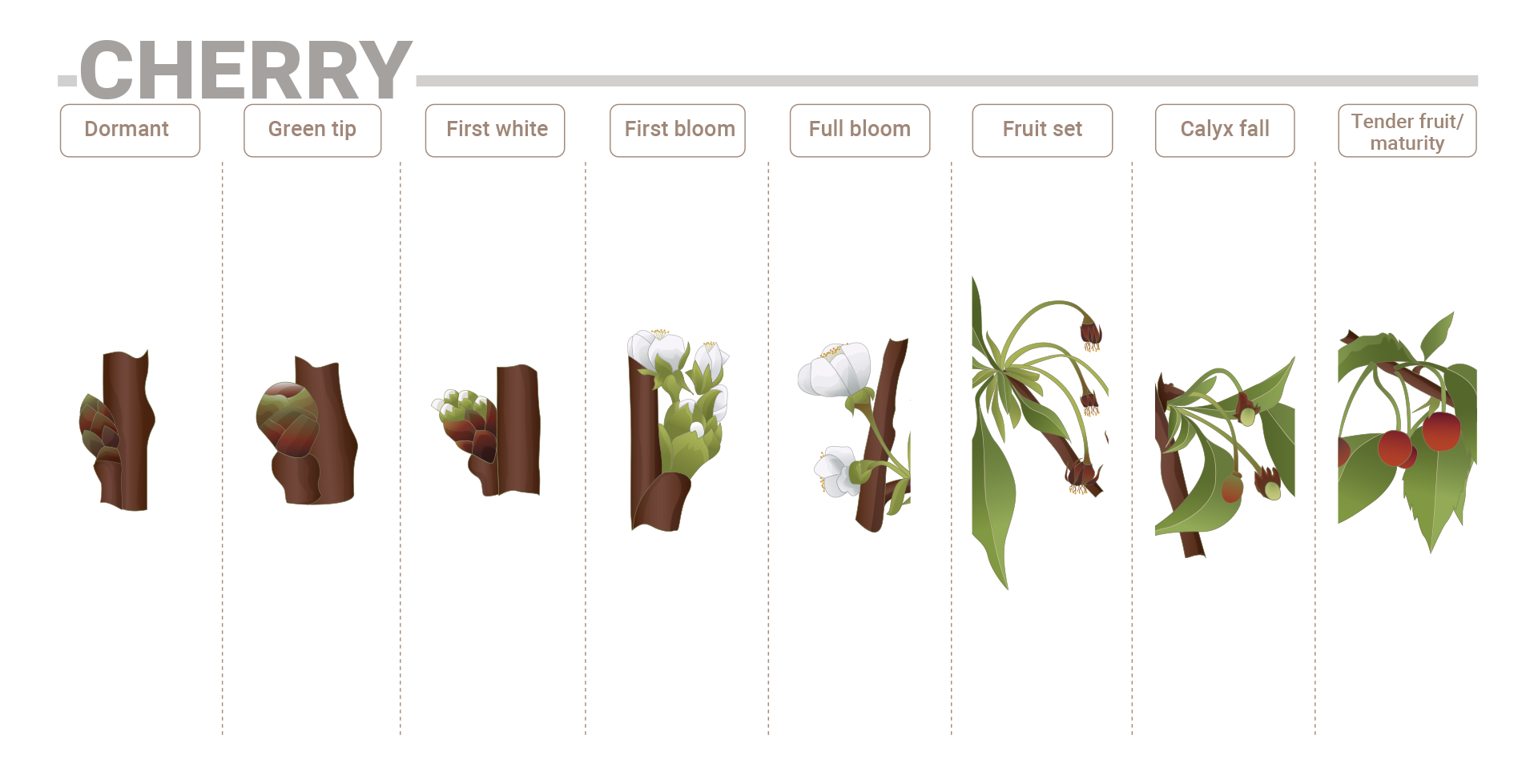Cherry phenological phases