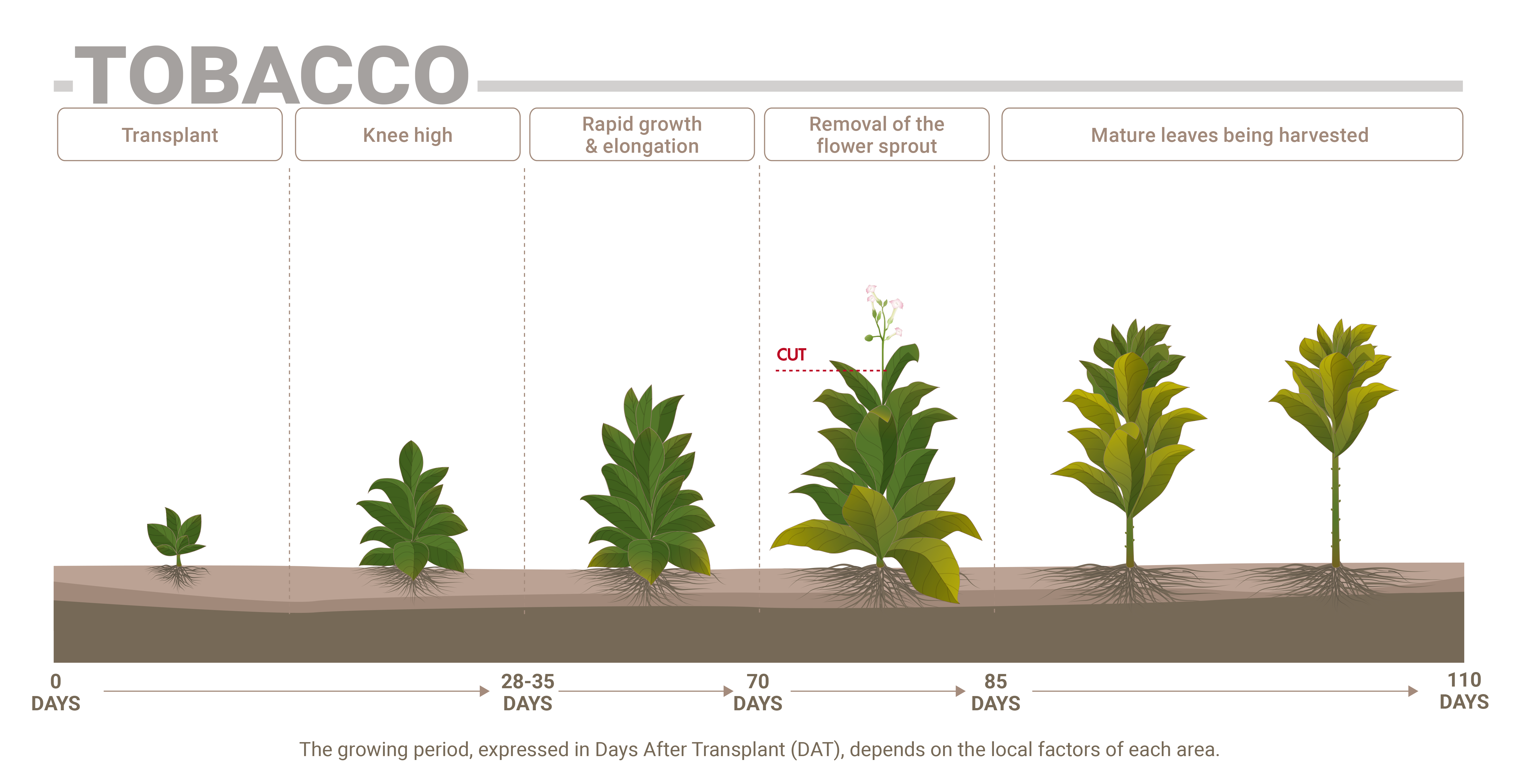 Tobacco phenological phases