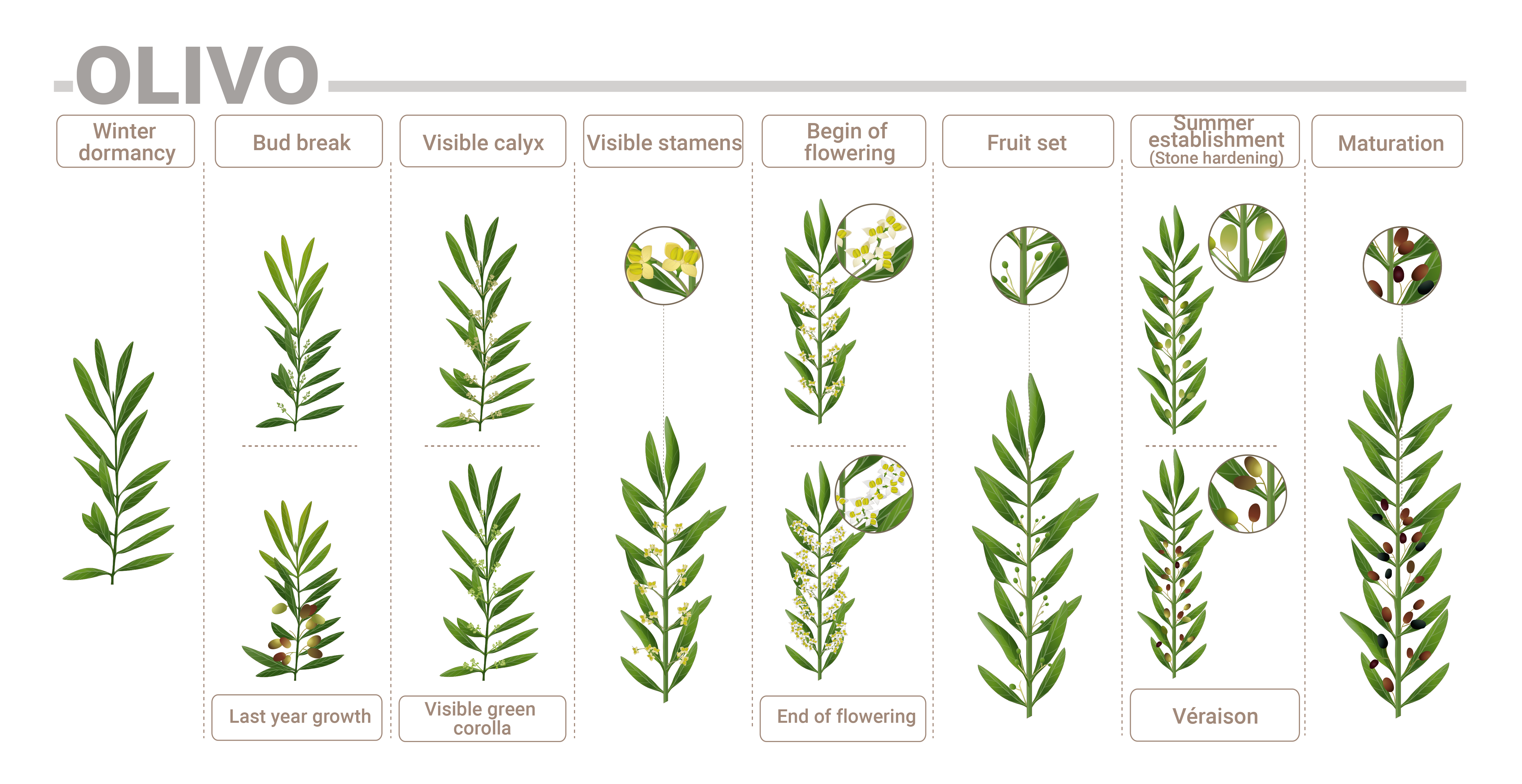 Olive phenological phases