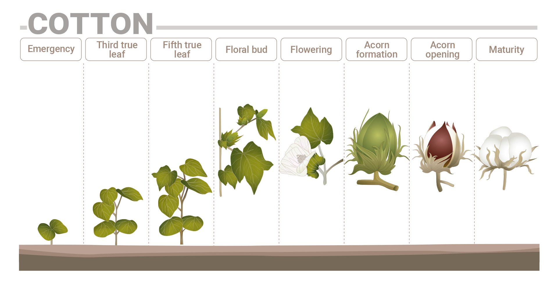 Cotton phenological phases