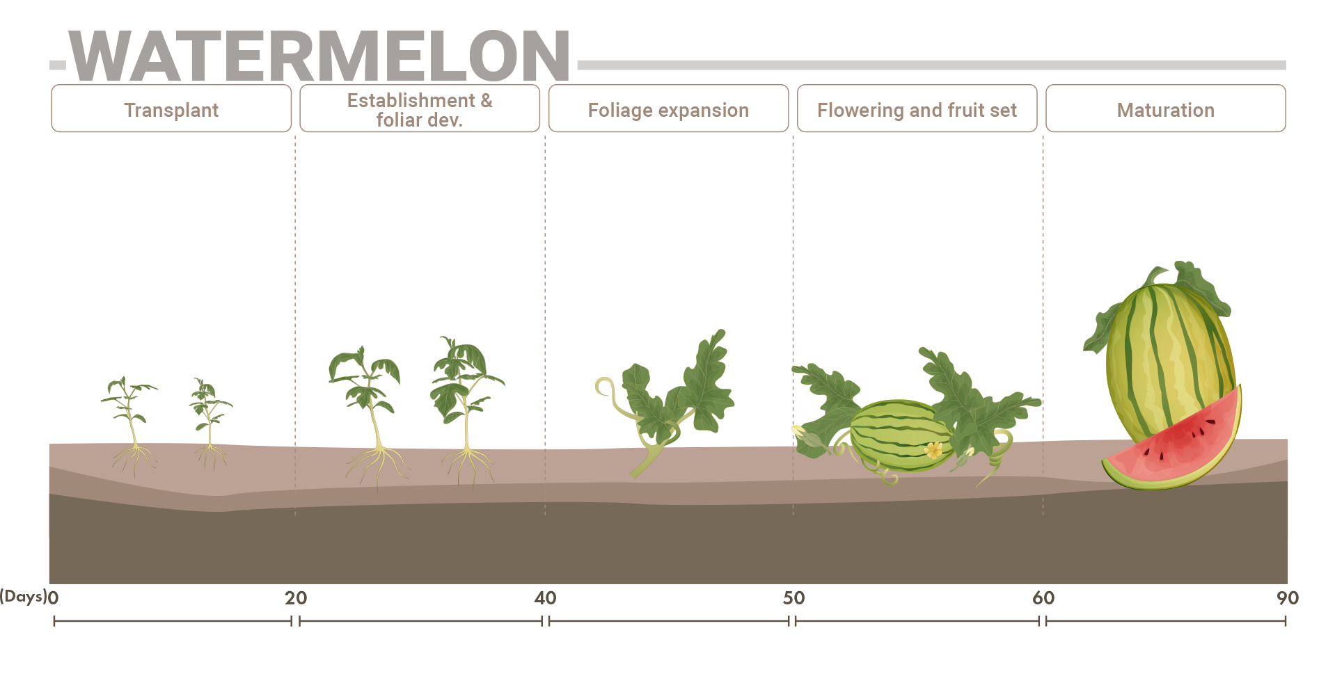 Watermelon phenological phases
