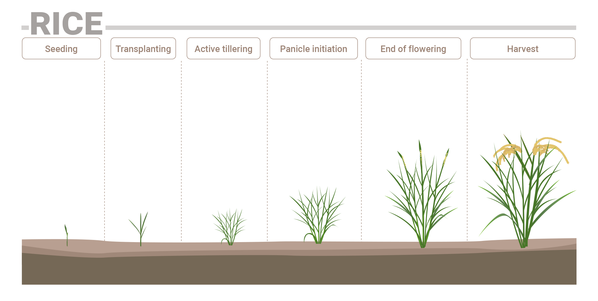 Rice phenological phases