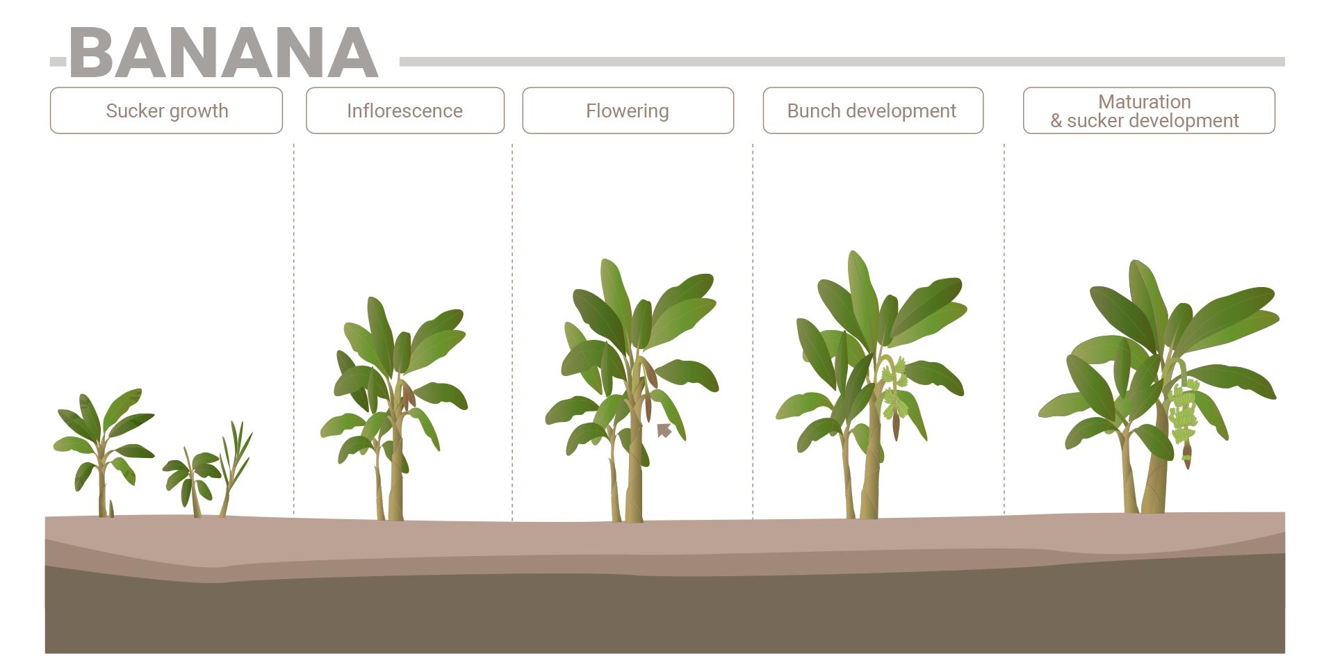 Banana phenological phases