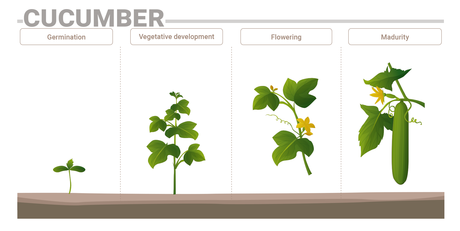 Recommendations for mineral nutrition by micro-irrigation and fertigation, of protected (tunnel/greenhouse) soilless- grown cucumbers, at yield level of 200-250 MT/ha