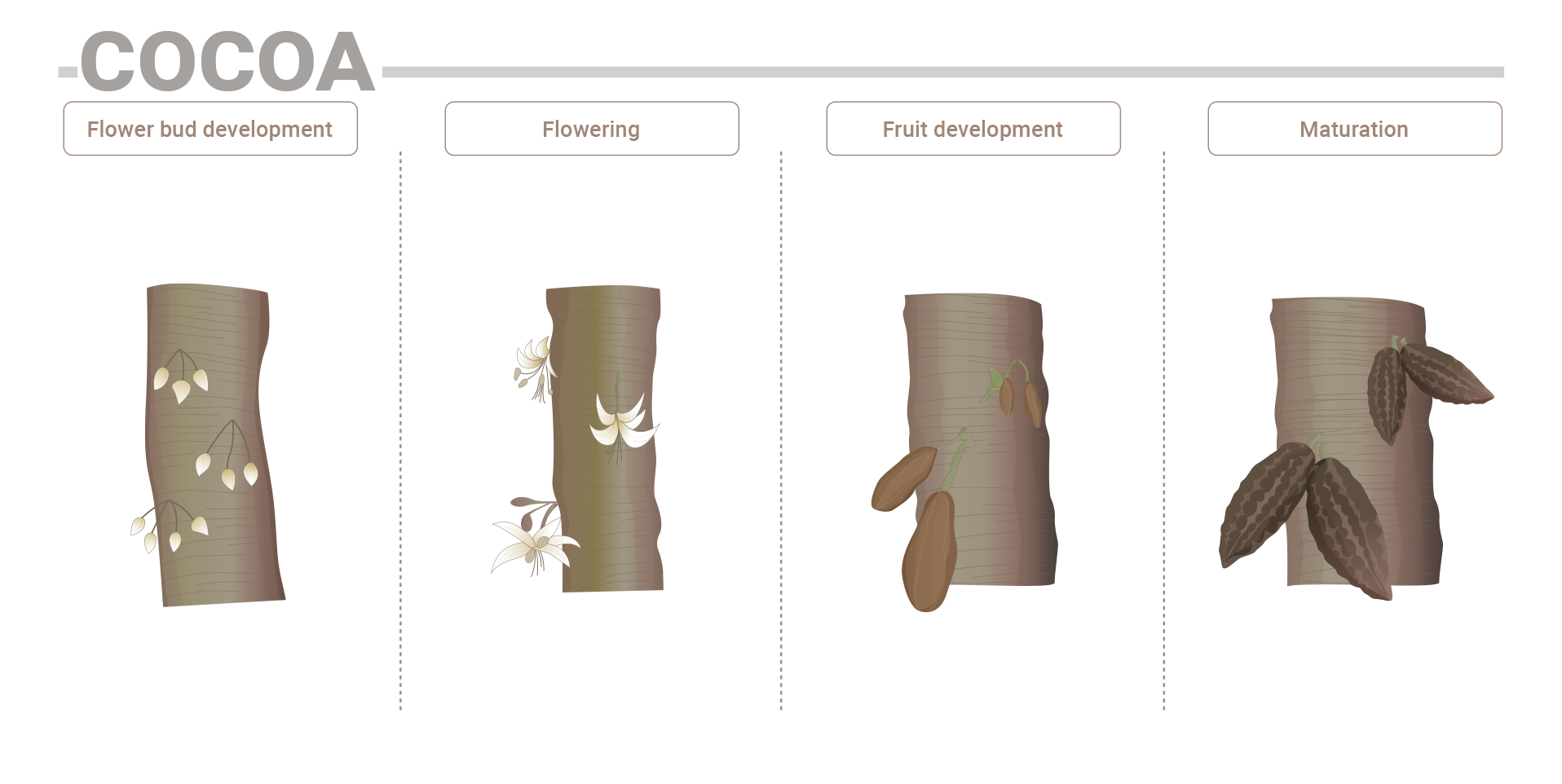 Cocoa phenological phases