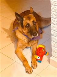 Erika R. verified customer review of Perico de Juguete para Perros con Sonido Wiggi de Kong