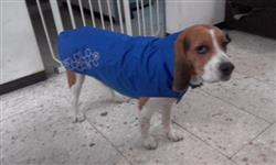Marisol L. verified customer review of Venture Outerwear Electric Blue -  Impermeable Azul Electrico para Perros