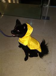 GUSTAVO C. verified customer review of Impermeable de Bolsillo Para Perros en Color Amarillo